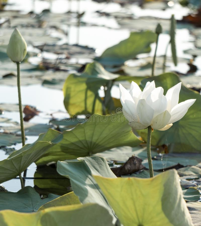 White lotus at Thale noi lake   Phatthalung Thailand. Where is the one motto of Phatthalung provice and is afavorite of the tourist royalty free stock photo