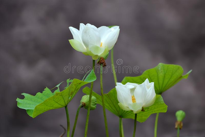 White Lotus. The White Lotus was a religious and political movement that appealed to many Han Chinese who found solace in worship of Wusheng Laomu, who was to royalty free stock image