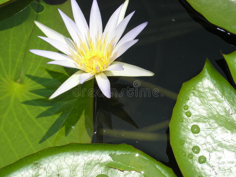 White lotus on the water royalty free stock image