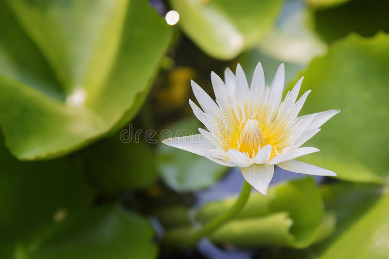 White lotus or water lilies in the pond. The white lotus or water lilies in the pond with the sunlight scene stock image
