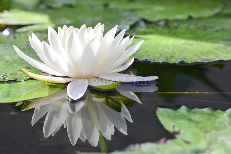 White lotus or water lilies. The white lotus or water lilies reflective with the water like the mirror in the pond stock photography