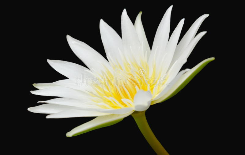 White lotus with yellow pollen water lily flower on black background royalty free stock image