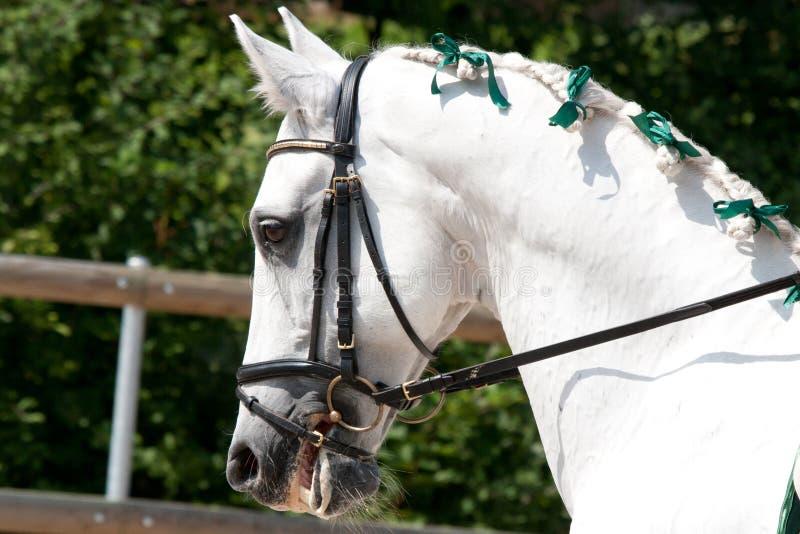 White Lusitano Horse Stock Image