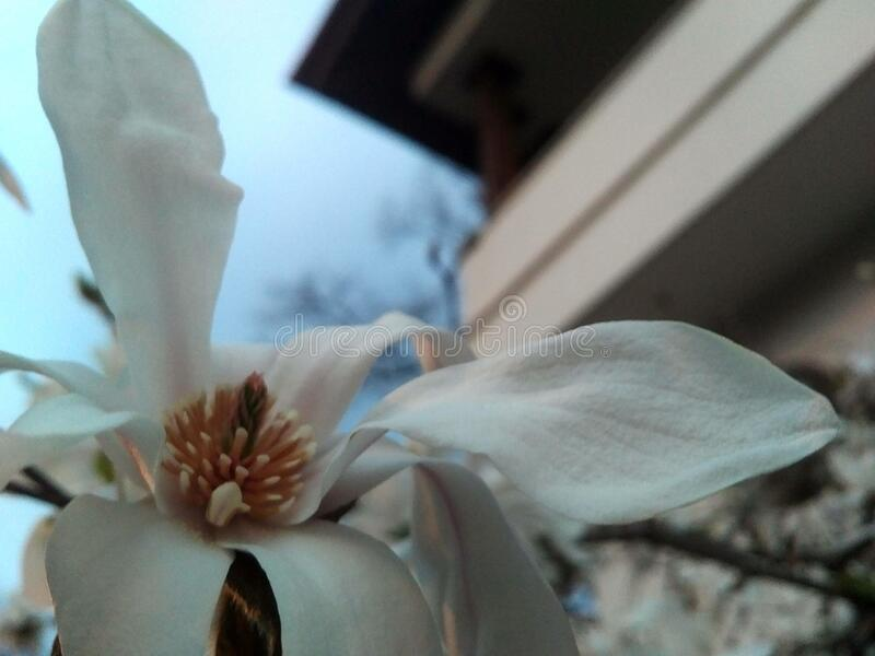 White magnolia blosson closeup, roof background in blur, white to blue gradient sky stock images