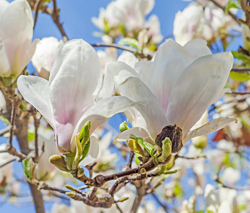 White Magnolia branch flowers, tree flowers, blue sky background stock photos