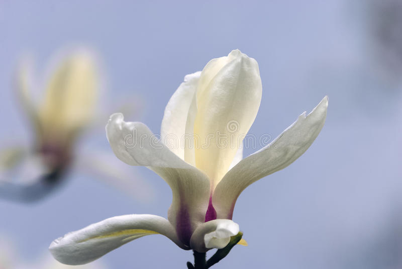 A white magnolia flower against the sky and a gentle bokeh. royalty free stock photo