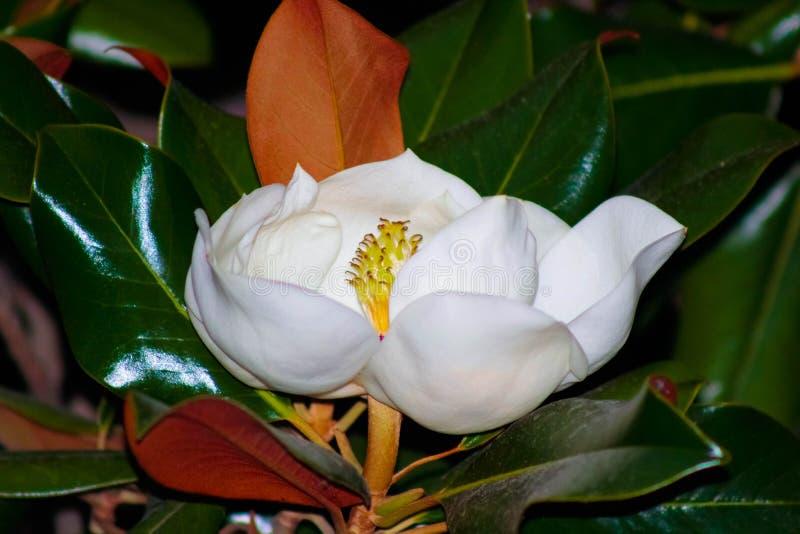 White magnolia flower. Also called Evergreen, Bull Bay, Laurel and Loblolly. White magnolia flower with green leaves. Also called Evergreen, Bull Bay, Laurel stock photo