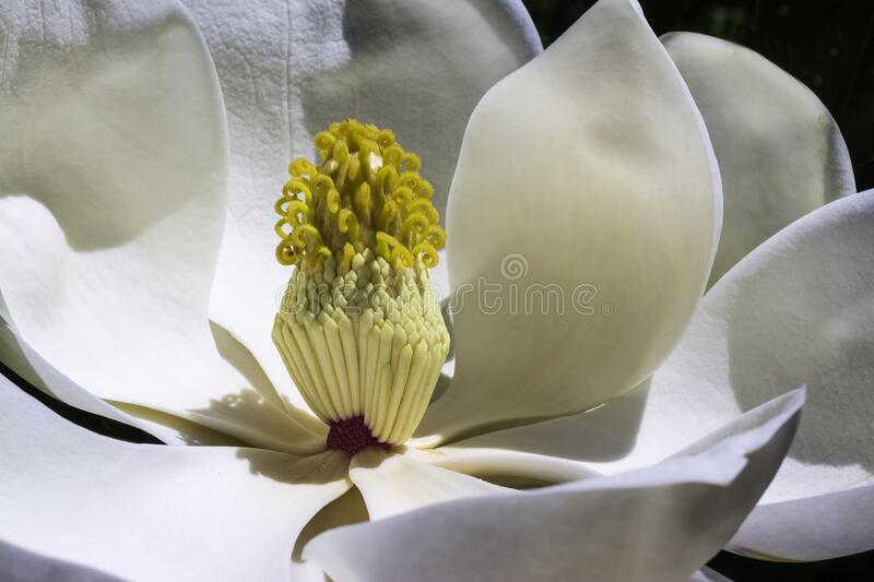 White magnolia flower in bloom stock photos