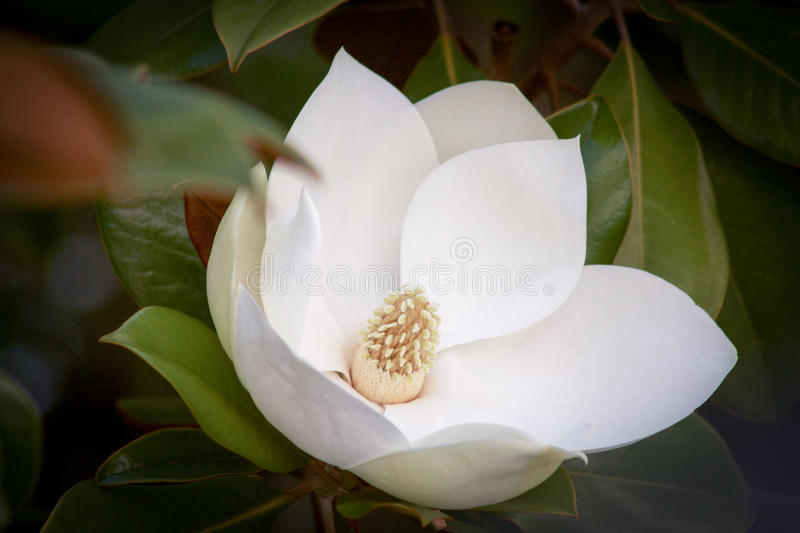 White magnolia flower in bloom and green leaves. White magnolia flower in bloom between green leaves stock images
