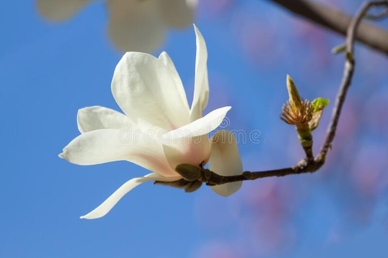 White magnolia flower bloomed royalty free stock photo