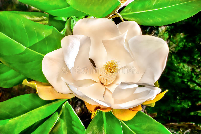 White Magnolia Flower close up with green leaves around. White Magnolia flower with large petals around yellow stigma on the end of a tree branch, there are stock images