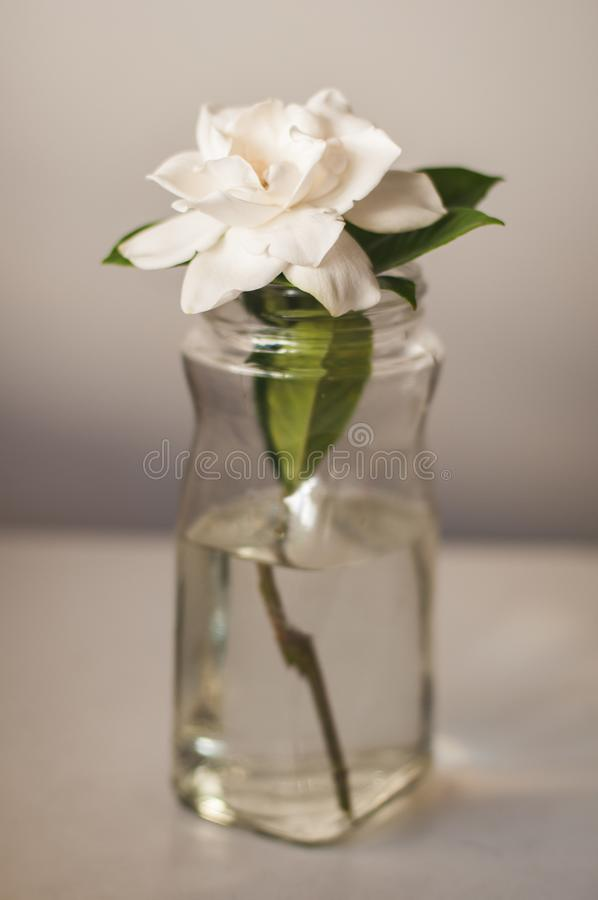 White Magnolia Flower in Glass Vase. A single white magnolia flower sits in a simple glass jar indoors. Vertical photo with natural lighting and light grey royalty free stock images