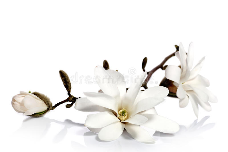 White magnolia flowers. Beautiful magnolia flowers on a white background royalty free stock photo