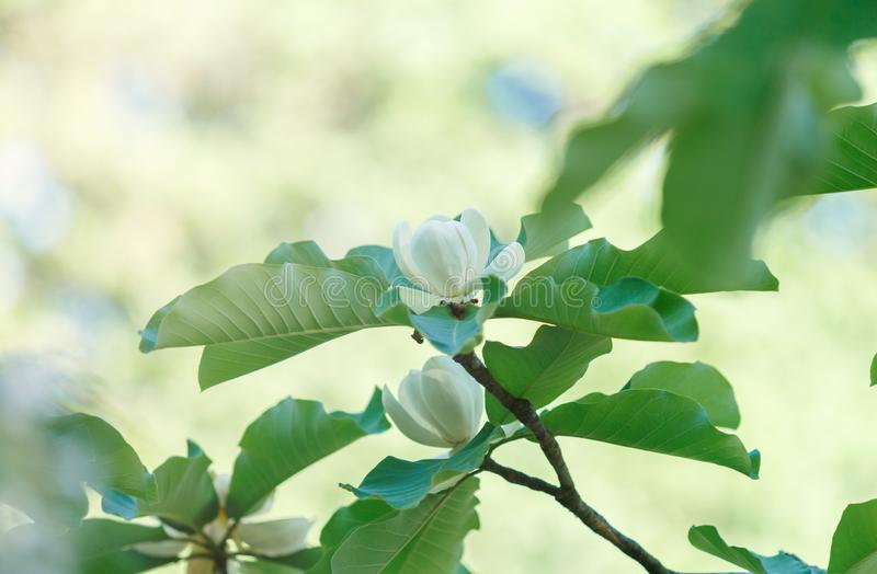 White magnolia flowers. Beautiful blossomed magnolia branch at spring. Magnolia flower blooming tree. Nature, spring royalty free stock image