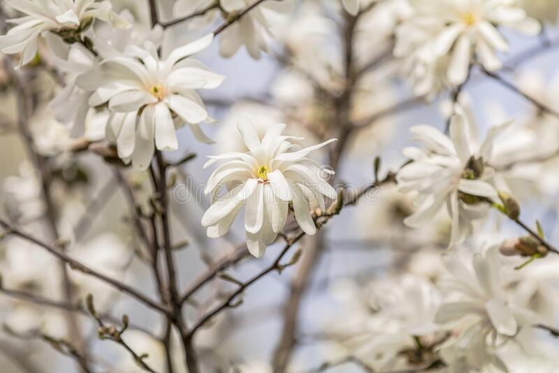 White magnolia Magnolia stellata blossom in the city park on spring sunny day, beautiful nature background. White magnolia Magnolia stellata blossom in the city stock photos