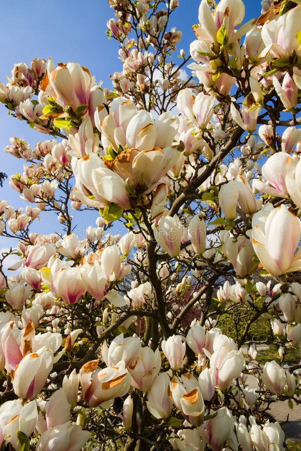 White magnolia shrub. Blooming in the garden, white magnolia flowers and background is blue sky, many flowers of magnolia in spring stock image