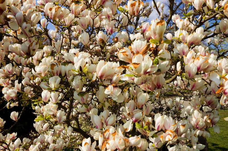 White magnolia shrub. Blooming in the garden, white magnolia flowers and background is blue sky, many flowers of magnolia in spring stock photo