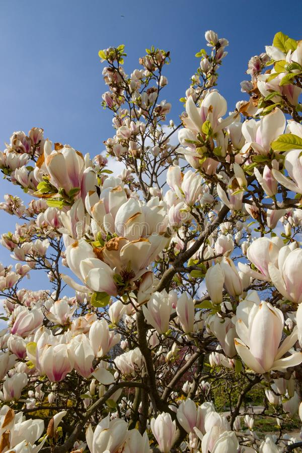 White magnolia shrub. Blooming in the garden, white magnolia flowers and background is blue sky, many flowers of magnolia in spring royalty free stock images