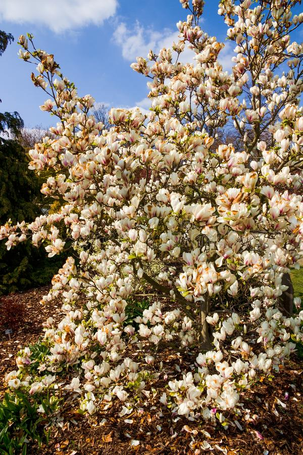 White magnolia shrub. Blooming in the garden, white magnolia flowers and background is blue sky, many flowers of magnolia in spring royalty free stock photo