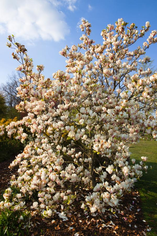 White magnolia shrub. Blooming in the garden, white magnolia flowers and background is blue sky, many flowers of magnolia in spring stock images