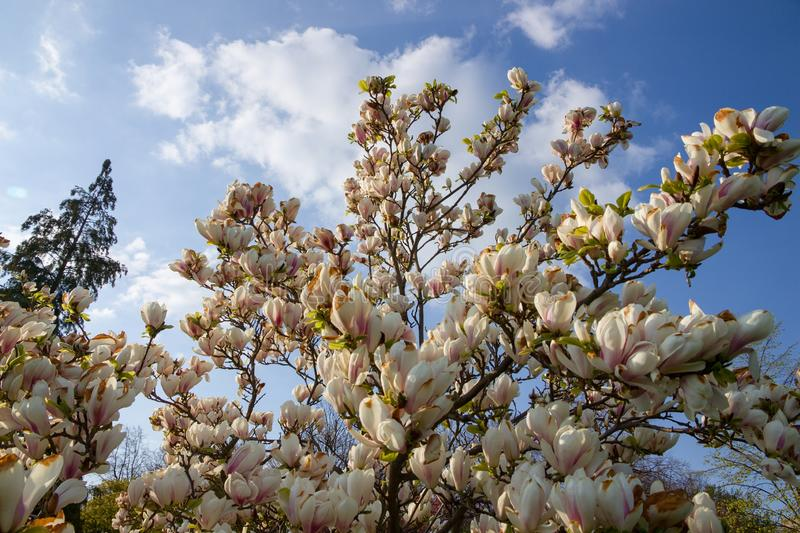 White magnolia shrub. Blooming in the garden, white magnolia flowers and background is blue sky, many flowers of magnolia in spring stock photography