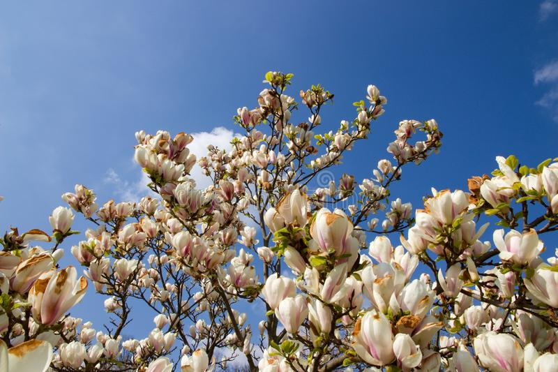 White magnolia shrub. Blooming in the garden, white magnolia flowers and background is blue sky, many flowers of magnolia in spring royalty free stock photography