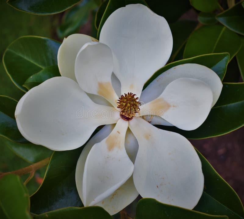 White magnolia on tree stock photo