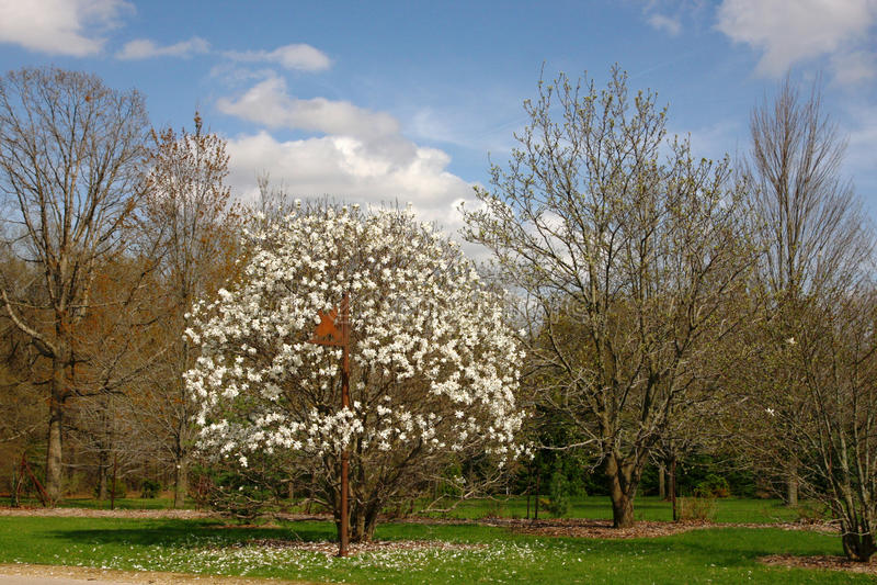 White magnolia tree. In a spring garden royalty free stock photo