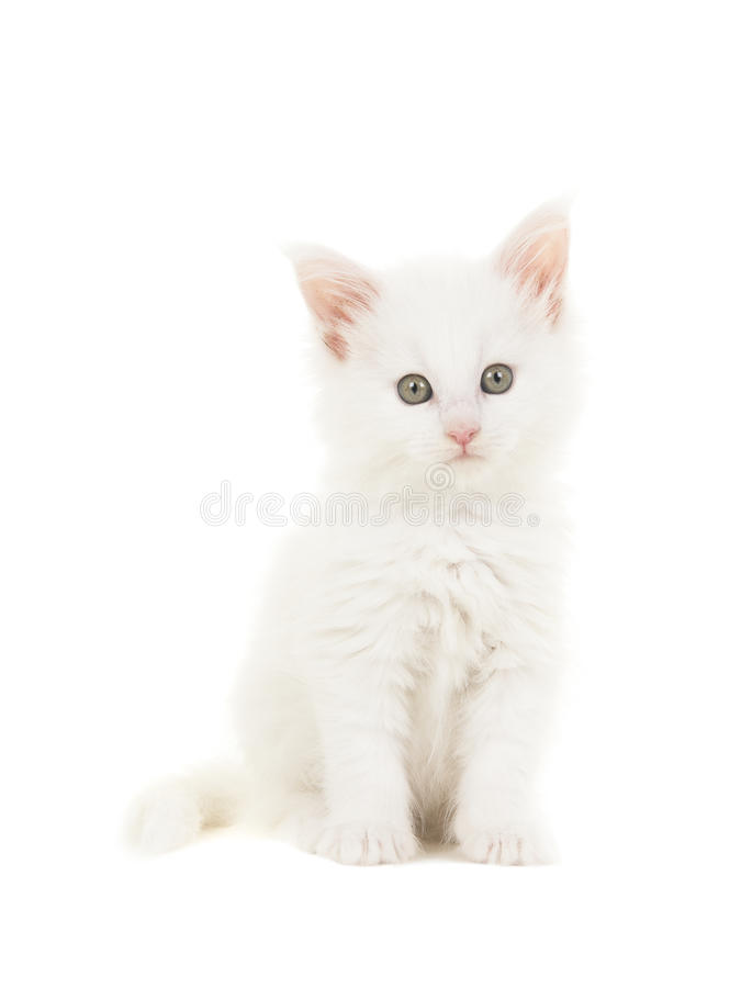 White main coon baby cat kitten sitting at looking at the camera. Isolated on a white background royalty free stock photos