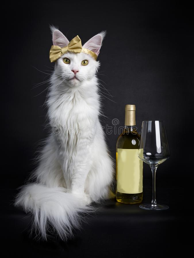White Maine Coon girl party glamour stock photography
