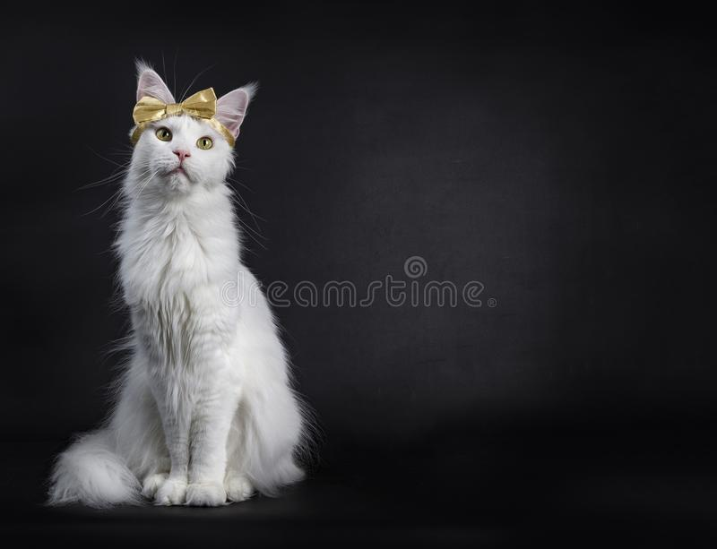 White Maine Coon girl party glamour. White Maine Coon girl cat wearing golden bow on head sitting up on black background stock image