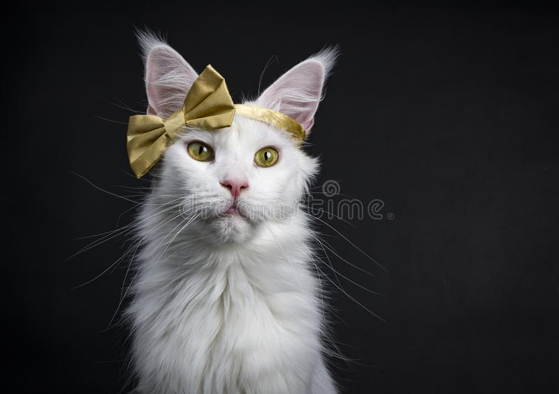 White Maine Coon girl party glamour. Head shot of White Maine Coon girl cat wearing golden bow on head sitting up on black background stock images