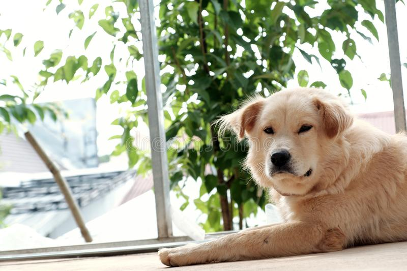 White male dog tired by sick. Pet lying and sleeping oudoor stock image