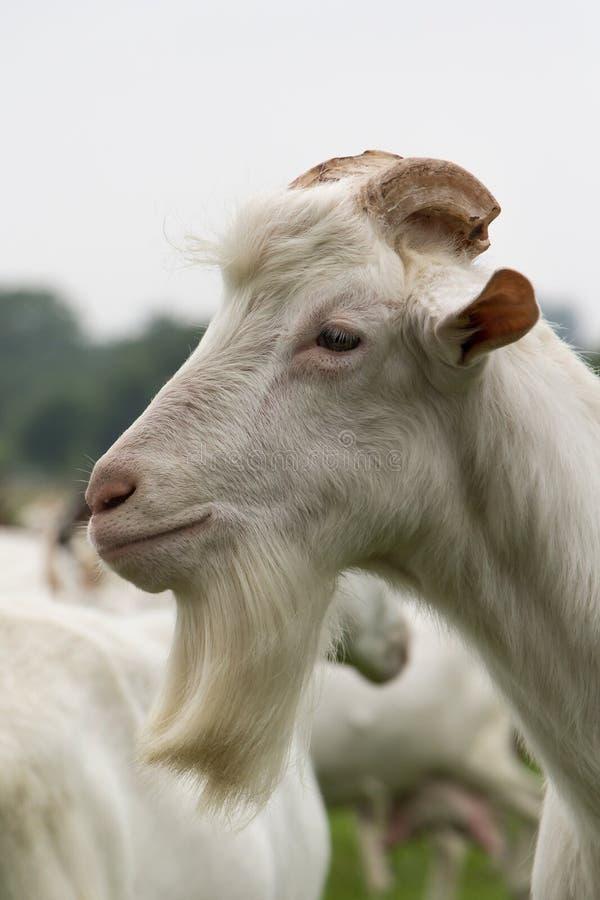 White Male Goat Royalty Free Stock Photos