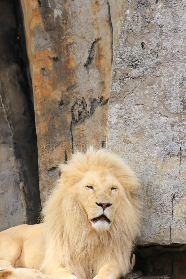 White male lion and rocks as background stock photos