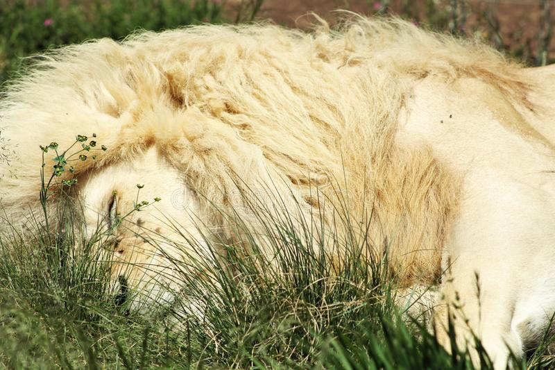 White Male African Lion royalty free stock images