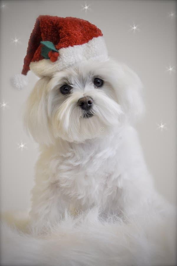 White maltese christmas dog royalty free stock image