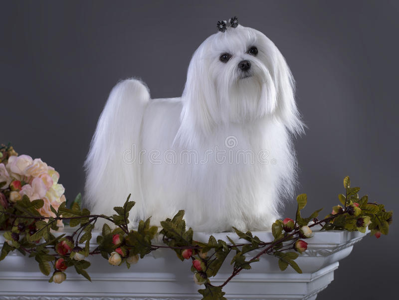 White Maltese dog stock photography