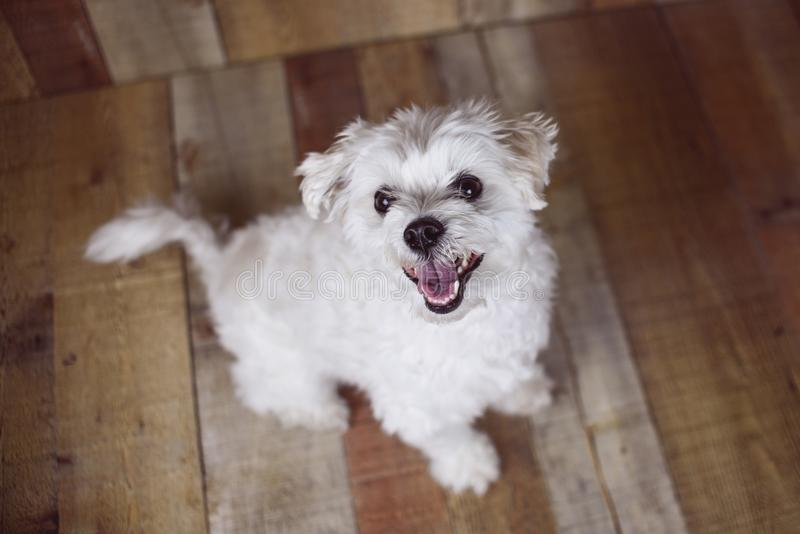 White Maltese dog posed on a wood background, cute friendly pet. Great family dog, small toy breed stock photo