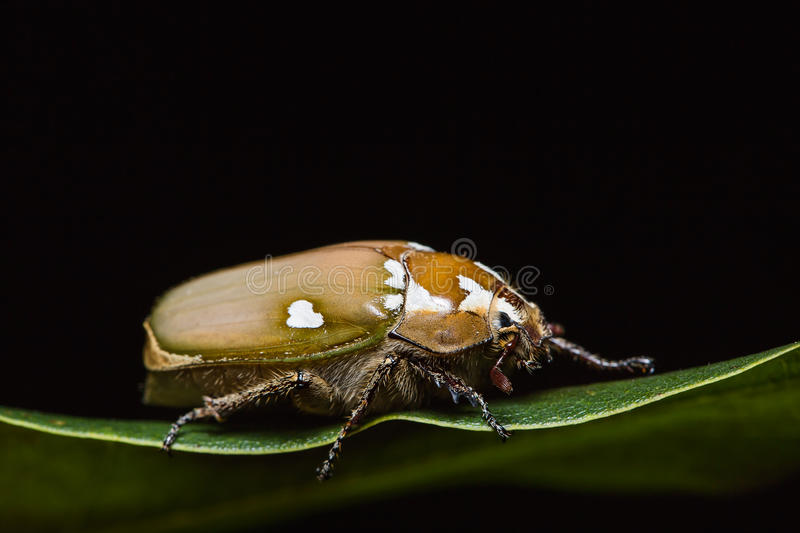 White man-faced June beetle. Close up of White Man-faced June beetle (Melolontha maculata) on green leaf in nature, side view, flash fired stock photo