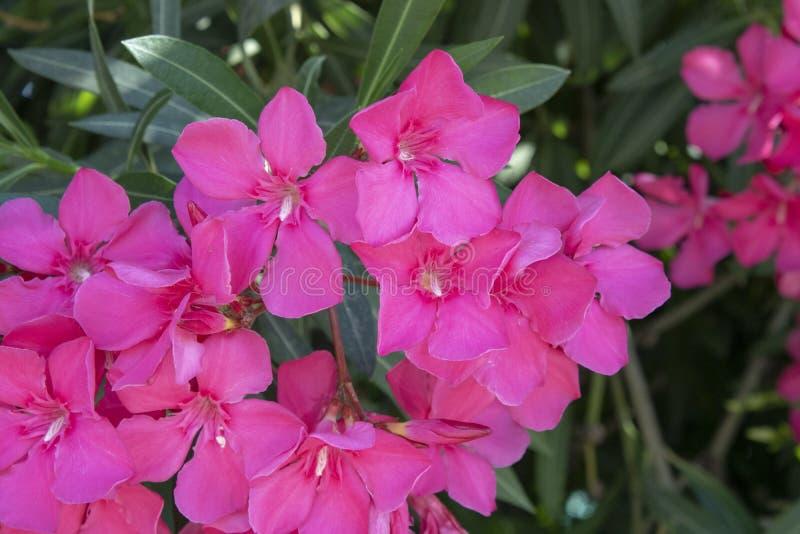 White mandevilla flower. Close-up. Blurred background. Petal, branch, summer, bright, spring, garden, flora, closeup, floral, color, oleander, bloom, blossom royalty free stock image