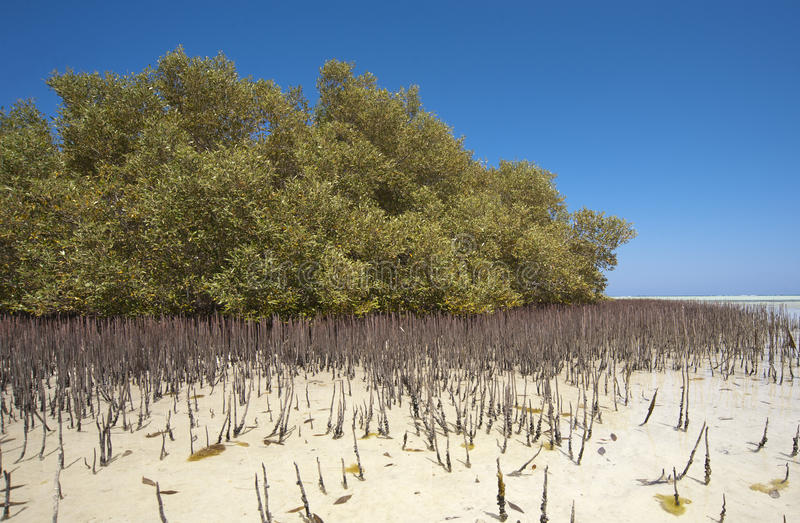 White mangrove tree with roots in lagoon stock photo