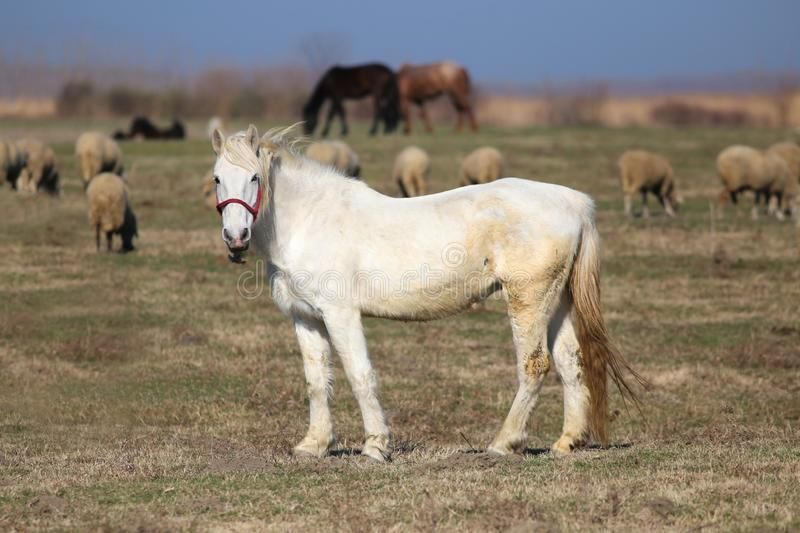 White mare on the pasture. Between sheep flock royalty free stock photos