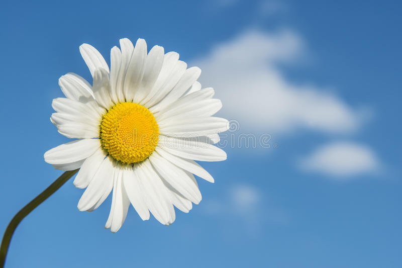 White marguerite. (Leucanthemum vulgare) on blue sky with clouds stock image