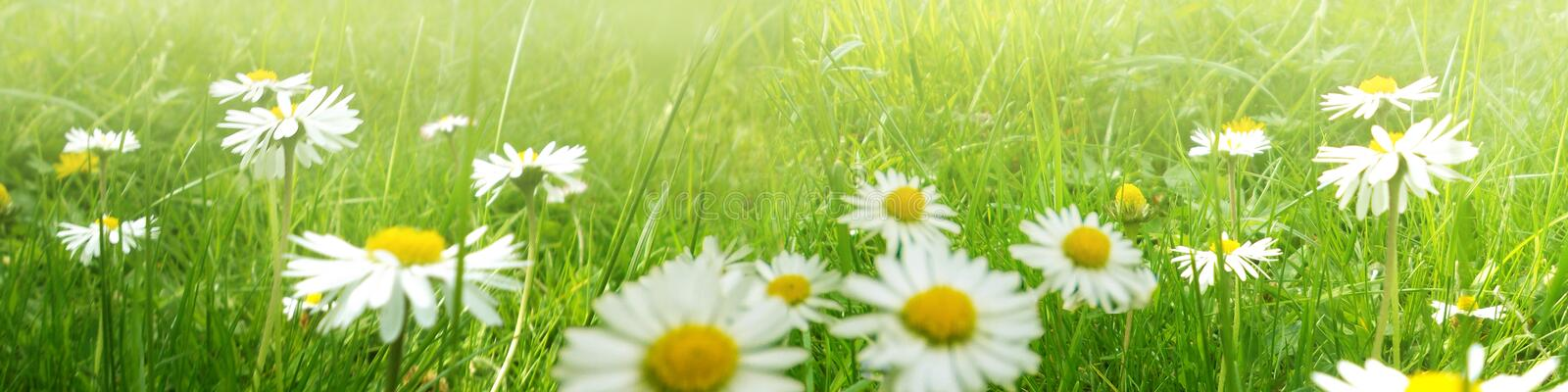 White marguerites in a green meadow. On a mild day in summer royalty free stock image
