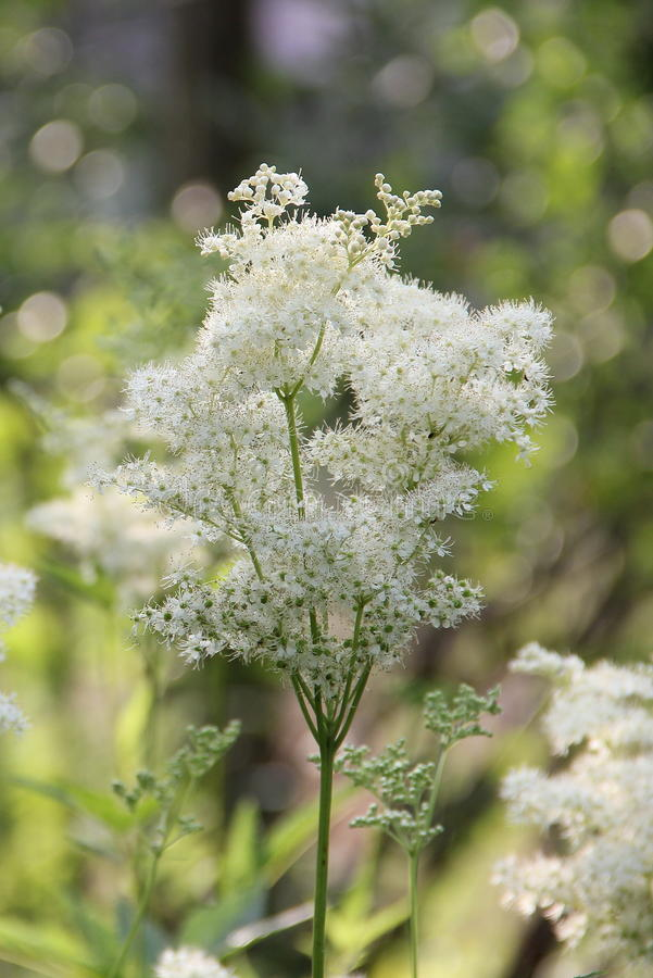 White meadowsweet flowers royalty free stock image