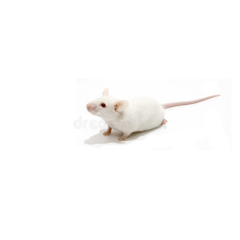 White mice isolated. White mouse isolated over white background stock photos