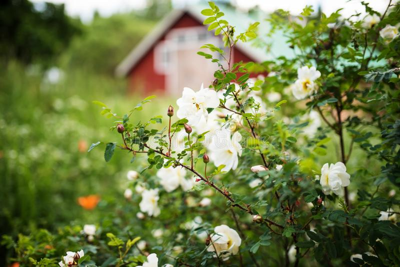 White midsummer rose, closeup on flowers. White midsummer rose at finnish countryside. This rose has a citrus fragrance and blooms in the Midsummer day stock photography