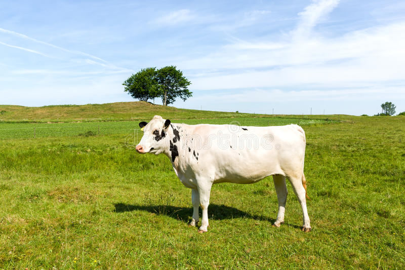 White milk cow standing on green meadow. royalty free stock photography