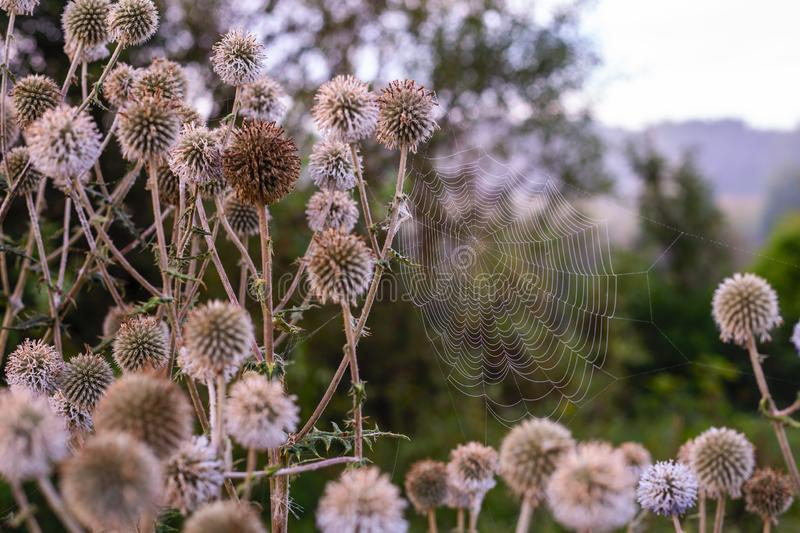 White milk thistle thicket and spider web at foggy morning close-up with selective focus.  stock photography